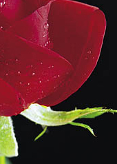 contre-rose