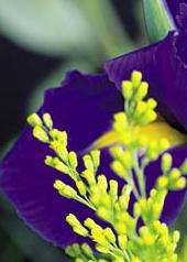 iris mimosa